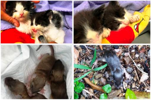 Animali alluvionati a Savona: l'Enpa soccorre sei cuccioli di ghiro e due gattini