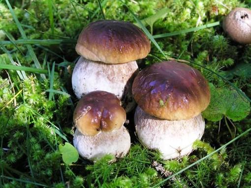 Via alla stagione dei funghi in Liguria: tutte le informazioni utili per non incorrere in sanzioni