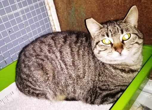 """Stella, la gatta """"Grigina"""" cerca casa: l'appello di Enpa"""