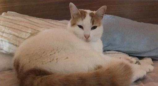 Albenga: aiutiamo la padrona di Simba a ritrovare il suo gatto