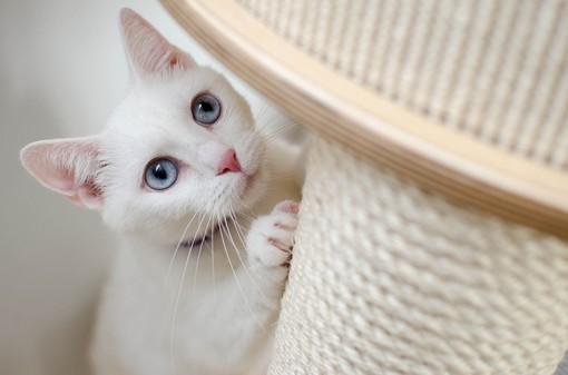Gatti bianchi a rischio estinzione, l'allarme di AIDAA