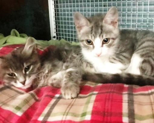 Due gattini abbandonati ad Albissola cercano casa: l'appello di Enpa