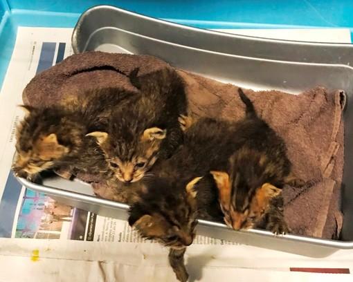 """Emergenza gattini abbandonati, l'Enpa lancia un appello per """"mamme"""" in prestito"""