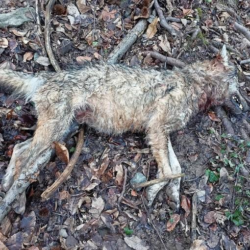 Cairo, lupo trovato senza vita in località strada Camponuovo (FOTO)