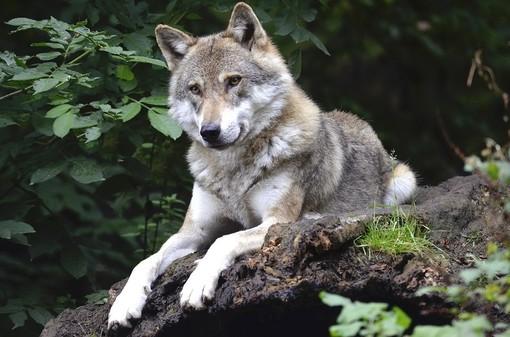 Emergenza lupi: ordine del giorno del Consigliere regionale De Paoli