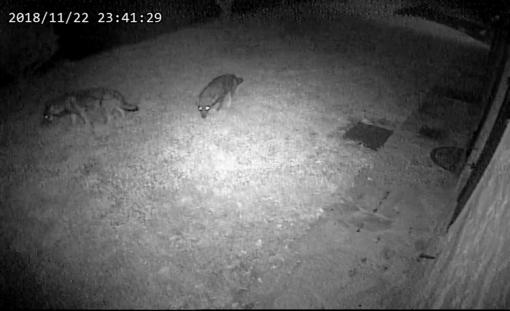 I lupi immortalati dalla videocamera di sorveglianza