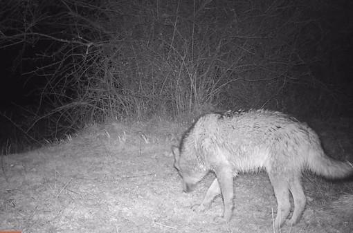 """""""Questo è un lupo"""": un magnifico esemplare femmina avvistato in Val Bormida"""