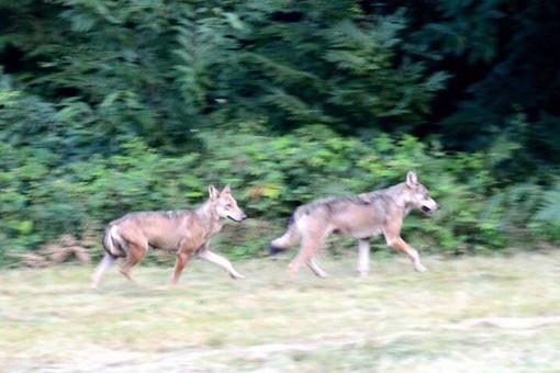 Bardineto, i lupi attaccano un gruppo di daini nella zona di rio Secco