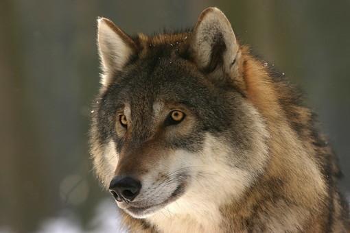 """Lettera al direttore: """"Il deserto che accompagna l'avanzata del lupo"""""""