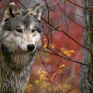 """Giù le mani dai lupi, Aisa e Comando Regionale Guardie Zoofile chiariscono il caso di Vendone e avvertono: """"Denunceremo chi divulga notizie infondate"""""""