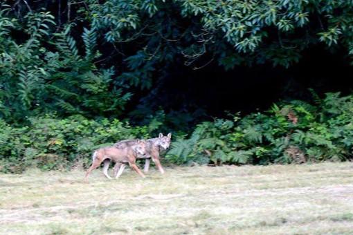 Cairo, avvistati due esemplari di lupo nella Riserva Naturale dell'Adelasia (FOTO)