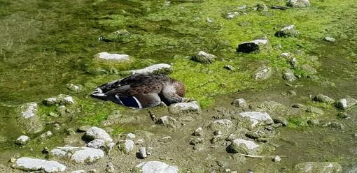 """La denuncia dell'Enpa: """"Moria di animali nei torrenti della riviera"""""""