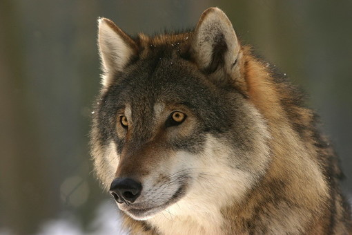 """A Cairo un nuovo incontro """"sul ritorno del lupo sulle nostre montagne"""""""