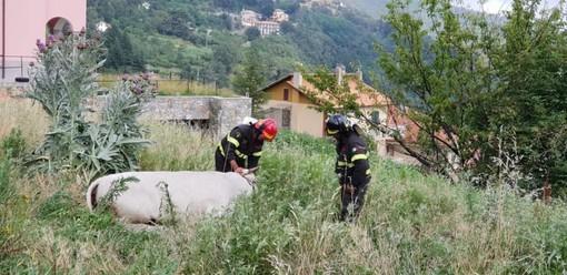 Varazze, l'elicottero dei vigili del fuoco in azione per salvare una mucca (FOTO e VIDEO)