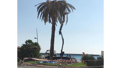 """Vado, messa in sicurezza la palma danneggiata ieri dal vento. Il vicesindaco Gilardi: """"Nei prossimi giorni controllate tutte le piante sul Lungomare"""""""