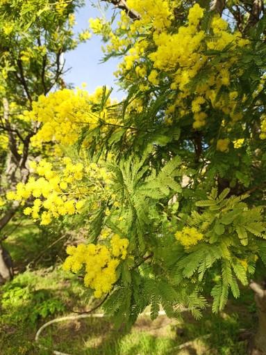 """Fiorisce la """"Mimosa della Merla"""", Coldiretti: """"Inverno caldo fa 'impazzire' i fiori liguri"""""""