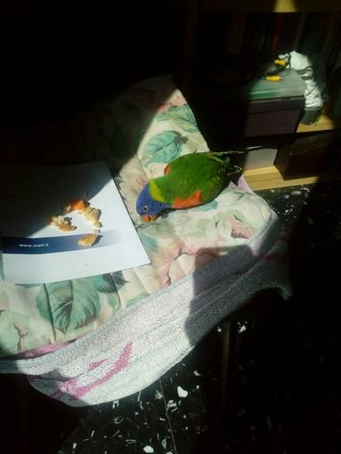 Ritrovato un pappagallino ad Alassio