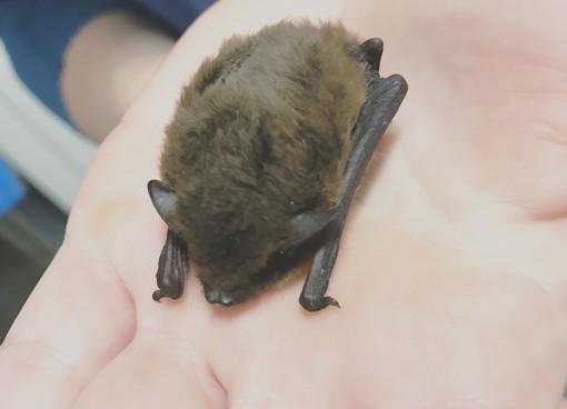 Savona, l'Enpa soccorre un pipistrello ferito