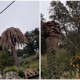 """Castellazzi (Verdi): """"Nel savonese le palme sono ancora in pericolo e richiedono cure biologiche"""""""