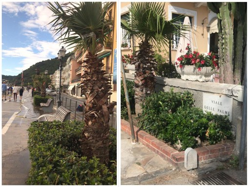 Nuove palme e alberi ad alto fusto per la Città di Alassio (FOTO)