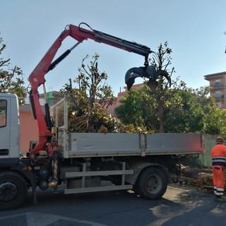 Albenga, pulizia e potatura del verde pubblico in piazza Don Sturzo (FOTO)