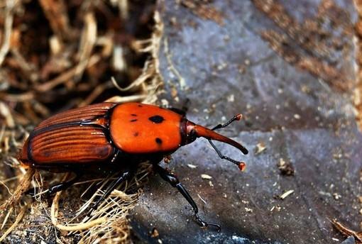Varazze, prosegue la lotta al punteruolo rosso: installata una trappola per catturare l'insetto
