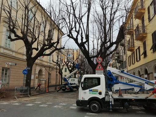 Albenga, avviata la potatura dei tigli in Viale Martiri (FOTO)