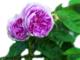 """Euroflora: """"Sciroppo di rose e altri eventi"""""""