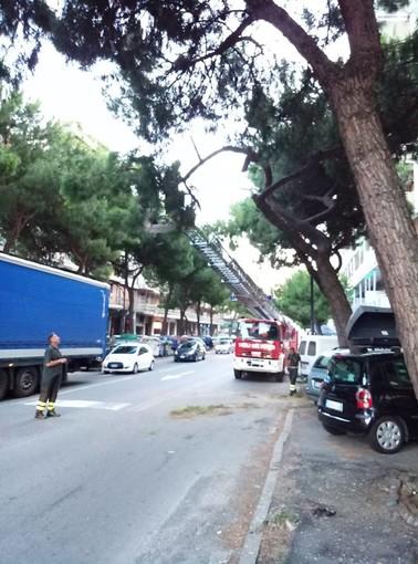 Savona, crolla un grosso ramo di pino in corso Tardy & Benech
