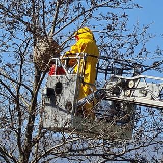 Finale, Vigili del fuoco rimuovono un importante nido di vespa velutina (FOTO)