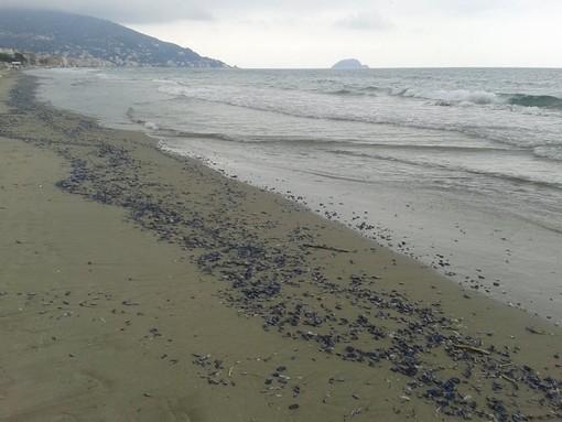 Albenga: spiagge invase dalle meduse