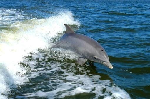 """I delfini fanno il loro """"regalo di Ferragosto"""" a Finale Ligure"""