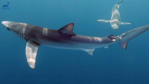 """Avvistati tre squali azzurri nel Mar Ligure, associazione Menkab: """"Garantiscono lo stato di salute del nostro mare"""" (FOTO e VIDEO)"""