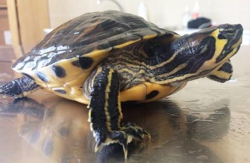 Modificata la normativa riguardante le tartarughe del genere 'Trachemys'