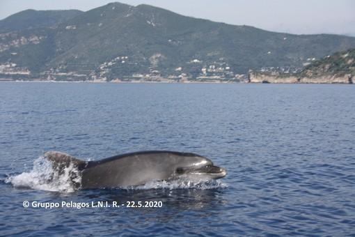 Avvistamento di numerosi tursiopi da Capo San Donato di Finale fino alla Gallinara al largo di Albenga