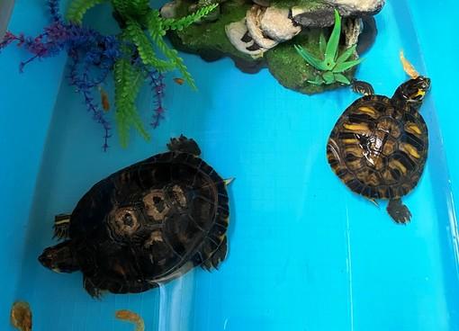 """La denuncia dell'Enpa: """"Due tartarughe d'acqua americane abbandonate a Savona"""""""