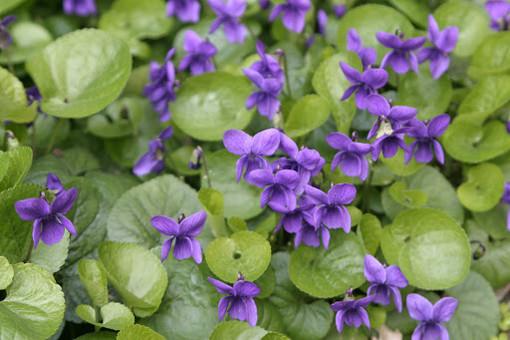 La signora delle violette di Villanova augura buon San Valentino agli innamorati