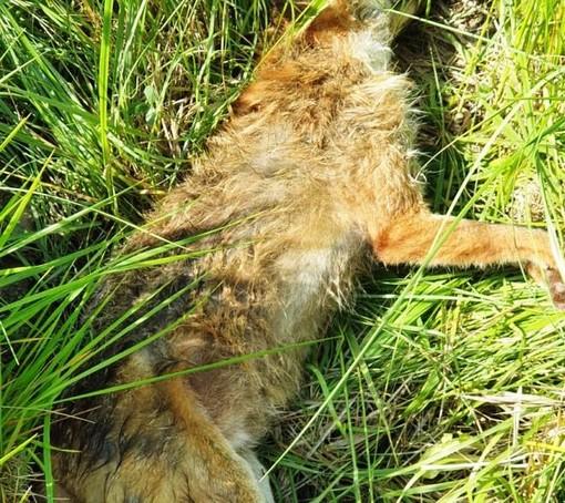 Cairo, volpe soccorsa dall'Enpa muore per avvelenamento