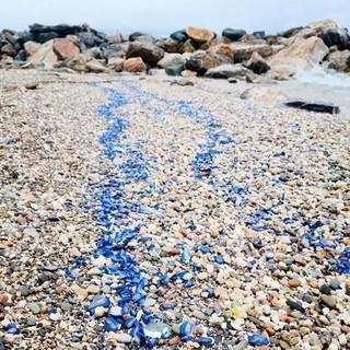 """Loano, spiaggia tinta di blu grazie all'invasione delle """"velelle"""""""