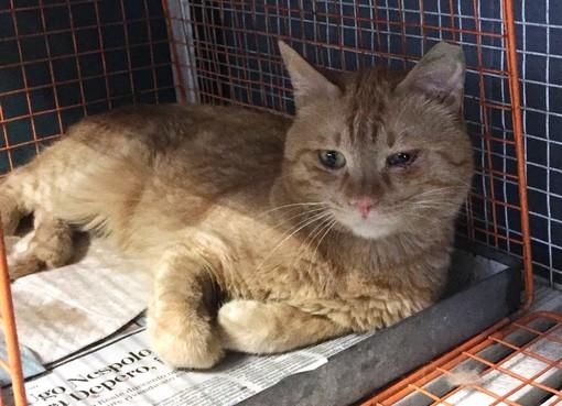 Varazze, gatto rosso cerca casa: l'appello di Enpa Savona