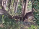 Due daini si sfidano a cornate: il video realizzato nei boschi di Bergeggi