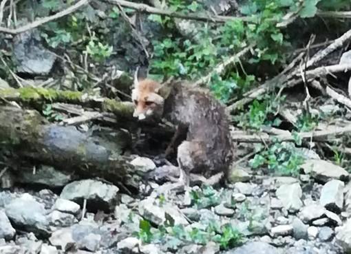 Anziana volpe soccorsa dall'Enpa alla cascata della Donnaiola a Quiliano